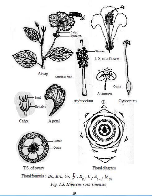 Types Floral Diagram Gallery How To Guide And Refrence